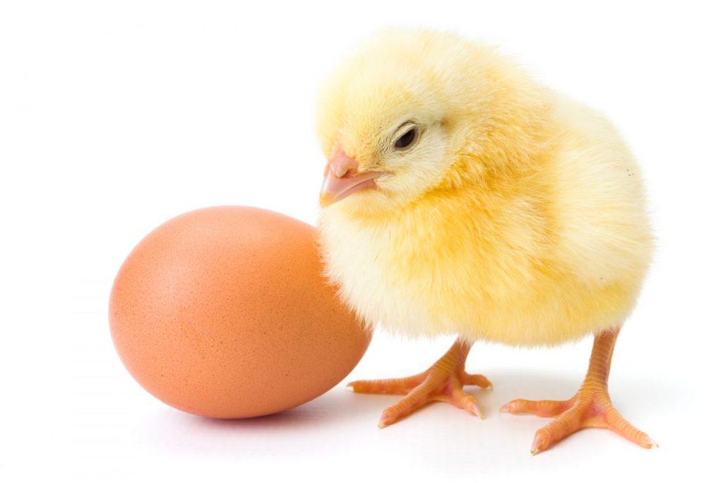 Little newborn yellow chicken with egg
